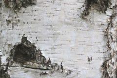 Textura de la corteza de abedul como fondo de madera natural Fotos de archivo