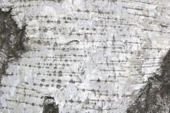 Textura de la corteza de abedul como fondo de madera natural Imagen de archivo