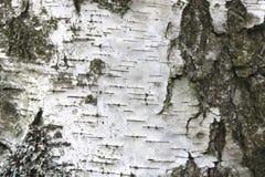 Textura de la corteza de abedul como fondo de madera natural Imagenes de archivo