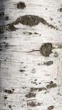 Textura de la corteza de abedul cubierta con el musgo Fotos de archivo libres de regalías
