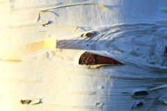 Textura de la corteza de abedul, fondo Fotos de archivo libres de regalías