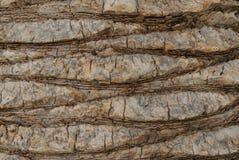 Textura de la corteza de la palma Foto de archivo libre de regalías