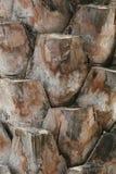 Textura de la corteza de la palmera Imagen de archivo
