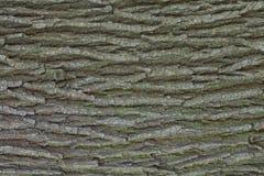 Textura de la corteza de roble Fotografía de archivo libre de regalías