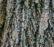 Textura de la corteza del árbol Fotos de archivo libres de regalías