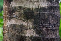 Textura de la corteza del árbol de coco fotos de archivo libres de regalías