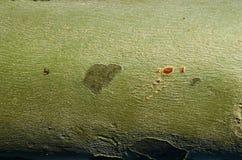 Textura de la corteza del árbol platan del sicómoro Fotografía de archivo libre de regalías