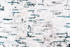 Textura de la corteza del abedul viejo Imágenes de archivo libres de regalías