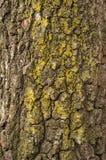 Textura de la corteza del abedul viejo con el musgo verde Foto de archivo libre de regalías