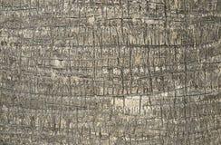 Textura de la corteza del detalle de la palma Fotos de archivo libres de regalías