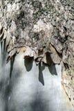 Textura de la corteza del eucalipto fotos de archivo libres de regalías