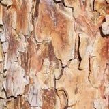 Textura de la corteza del pino Fotografía de archivo
