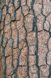 Textura de la corteza del pino. Imagen de archivo
