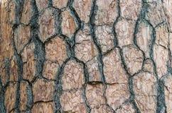 Textura de la corteza del pino. Fotos de archivo libres de regalías