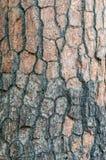 Textura de la corteza del pino. Foto de archivo