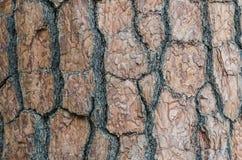 Textura de la corteza del pino. Fotografía de archivo libre de regalías