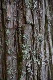 Textura de la corteza del pino Imagen de archivo