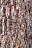 Textura de la corteza del pino Fotografía de archivo libre de regalías