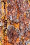 Textura de la corteza del pino con el musgo Imagenes de archivo