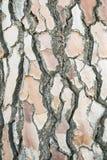 Textura de la corteza del pino de piedra Foto de archivo libre de regalías