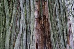 Textura de la corteza del Thuja, cierre del tronco de árbol para arriba foto de archivo libre de regalías
