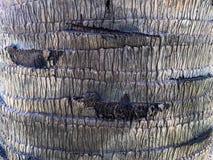 Textura de la corteza de la palma Fotografía de archivo