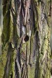 Textura de la corteza de un árbol viejo Textura de la corteza de un árbol viejo stock de ilustración