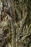 Textura de la corteza de un árbol viejo Textura de la corteza de un árbol viejo ilustración del vector
