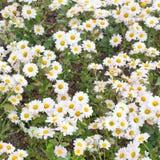 Textura de la flor de la margarita Foto de archivo