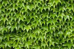 Textura de la hiedra de Boston Imagen de archivo libre de regalías