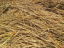 Textura de la hierba seca Imagen de archivo libre de regalías