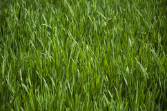 Textura de la hierba verde Foto de archivo