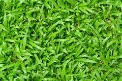 Textura de la hierba verde Imagen de archivo libre de regalías