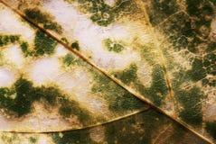 Textura de la hoja Fotos de archivo libres de regalías