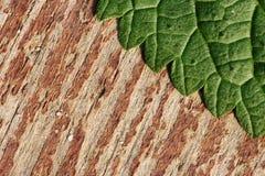 Textura de la hoja de la ortiga en la madera imagen de archivo