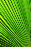 Textura de la hoja de la palmera Fotos de archivo libres de regalías