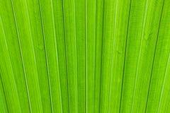 Textura de la hoja de la palmera Imágenes de archivo libres de regalías