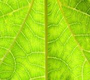 Textura de la hoja de la papaya Fotos de archivo libres de regalías