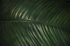 Textura de la hoja de palma del color oscuro verde, primer Imágenes de archivo libres de regalías