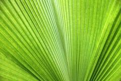 Textura de la hoja de palma verde Fotos de archivo libres de regalías