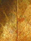 Textura de la hoja de Rose Fotografía de archivo libre de regalías