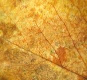 Textura de la hoja de Rose Fotografía de archivo