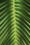 Textura de la hoja del árbol de coco Foto de archivo libre de regalías