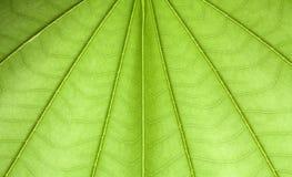 Textura de la hoja del árbol de la mariposa Fotos de archivo libres de regalías