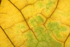 Textura de la hoja del otoño Foto de archivo libre de regalías