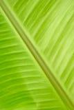 Textura de la hoja del plátano Foto de archivo libre de regalías