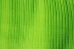 Textura de la hoja del plátano. Imagenes de archivo
