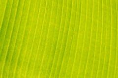 Textura de la hoja del plátano Fotografía de archivo libre de regalías