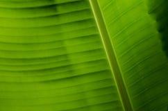 Textura de la hoja del plátano imagen de archivo libre de regalías