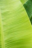 Textura de la hoja del plátano Foto de archivo